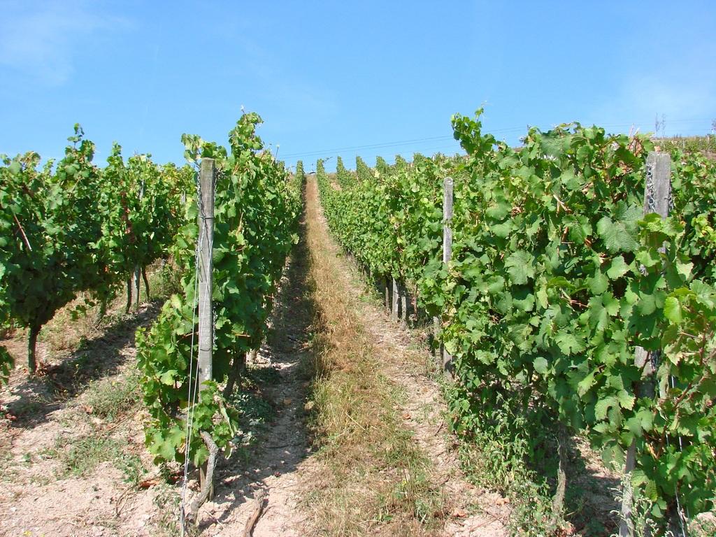 Les vins du pays Marennes-Oléron